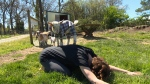 Goat yoga is the latest exercise trend sweeping across the country and now Victoria Lavender Farm is offering classes with Nigerian dwarf goats. Apr. 21, 2017 (CTV Vancouver Island)
