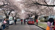 CTV National News: B.C. blossoms safety hazard