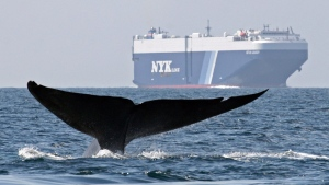 In this photo taken August 14, 2008 and provided by John Calambokidis, a blue whale is shown near a cargo ship in the Santa Barbara Channel off the California coast. (AP Photo/John Calambokidis, Cascadia Research)