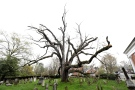 This Friday, April 21, 2017, shows a 600-year-old white oak tree on the grounds of Basking Ridge Presbyterian Church in Bernards, N.J. (AP Photo/Julio Cortez)