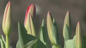 CTV Ottawa: Tulips popping up