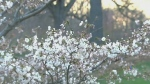 cherry blossoms, High Park
