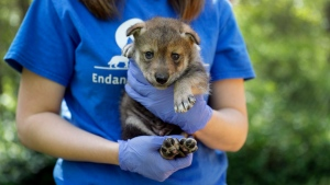Regina Mossotti, director of animal care and conservation at the Endangered Wolf Center, holds a Mexican wolf born April 2 at the facility Monday, April 24, 2017, in Eureka, Mo. (AP Photo/Jeff Roberson)