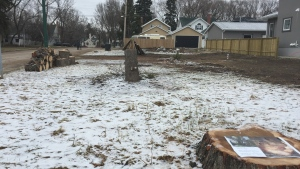 Residents on Saskatchewan Crescent East are concerned about the recent removal of three city-owned trees in their neighbourhood. (Mark Villani/CTV Saskatoon)