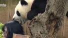 CTV News Channel: Panda selfie goes wrong
