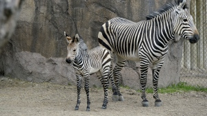 Zebra mother Zoey stands next to her foal at the Hogle Zoo, Monday, April 24, 2017, in Salt Lake City. (Francisco Kjolseth/The Salt Lake Tribune via AP)