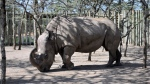 In this Monday Dec. 21, 2009 file photo, Sudan, a northern white rhino, arrives at the Ol Pejeta Conservancy in Kenya. (Riccardo Gangale/AP)