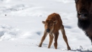 A bison calf is seen taking its first steps in Banff's backcountry. (Parks Canada / Adam Zier-Vogel)