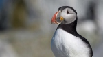 An Atlantic puffin is seen on Machias Seal Island on Friday, June 24, 2016. THE CANADIAN PRESS/Andrew Vaughan