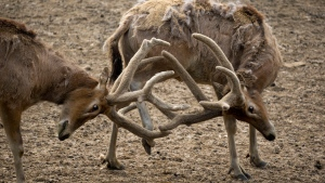 In this April 10, 2017 photo, Milu deers wrestle with their antlers at the Beijing Milu Ecological Research Center. (Ng Han Guan/AP)