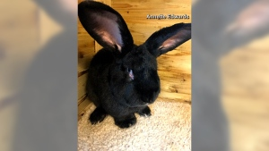 """Simon,"" a 10-month-old, three-foot-long rabbit unexpectedly died aboard a United Airlines flight. (Credit: Annette Edwards)"