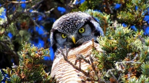 Northern Hawk Owl spotted on Goose Creek Churchill. Photo by Katie deMeulles.