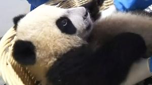 CTV Calgary: Panda paddock progressing
