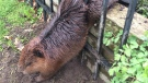 A beaver is trapped in a wrought iron fence in a handout photo provided by the City of Hamilton. The beaver was freed by the soapy hands of a municipal employee. (THE CANADIAN PRESS / HO-City of Hamilton)