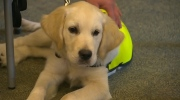 CNIB guide dog puppies