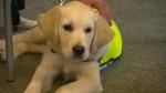 CNIB guide dog puppies