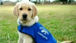 Agency looking for guide dog raisers