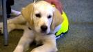 Seeing eye puppy