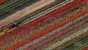 Chopper view: Tulips in full bloom in Abbotsford