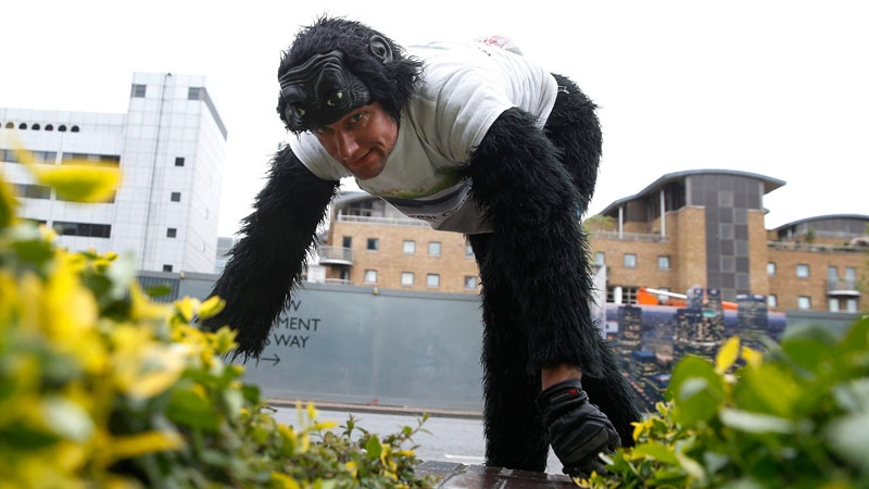 Tom Harrison also known as Mr Gorilla makes his way crawling along part of the London Marathon course in aid of the charity 'Gorilla Organization' Thursday, April 27, 2017.(AP /Alastair Grant)