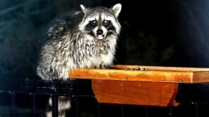 My midnight visitor looking for snacks. Photo by Stan Kelly.