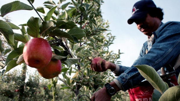 Harvesting apples at an Allan Bros. Fruit orchard in Union Gap, Wash., on on Oct. 4, 2006. (Andy Sawyer / AP)
