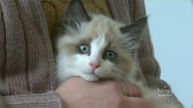 Ragdolls cats winnipeg