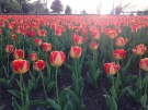 Tulips at Coventry Gardens in Windsor, Ont.