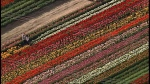 Millions of flowers are in bloom over Abbotsford's annual tulip festival. (CTV)