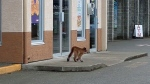 An image posted to Facebook appears to show the small cougar meandering around a Courtenay plaza, outside of a liquor store. April 27, 2017. (Facebook)
