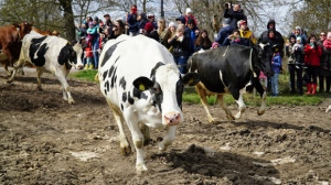 Dairy cows are released into open fields for the lush summer pastures, freed from the stables which have been their homes for the long winter months, in Drottningholm, Sweden, Saturday, April 29, 2017. (AP Photo/David Keyton)