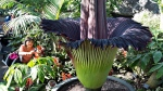 Nyoke Fong takes a picture of a corpse flower after it bloomed at the Muttart Conservatory in Edmonton, Alta., on Monday, April 22, 2013. (THE CANADIAN PRESS/Jason Franson)