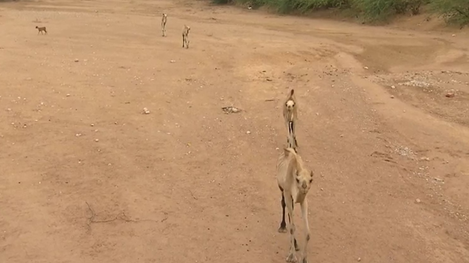 Starving camels
