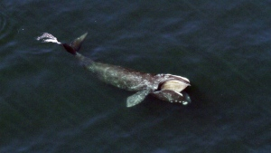A right whale side-feeds just below the surface of Cape Cod Bay off shore from Wellfleet, Mass. on April 23, 2017. (Center for Coastal Studies)