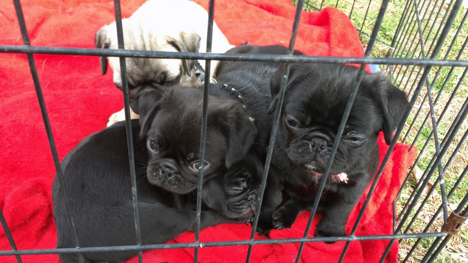 Puppies born just weeks after their mother, a service dog, was rescued from a house fire in Saskatoon play inside a caged area of the home's front yard Tuesday, May 2, 2017. (Mark Villani/CTV Saskatoon)