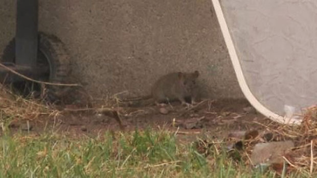 Residents of a housing complex in Moncton say there are so many rats in their neighbourhood they are keeping their children inside to play.
