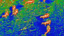 Aerial ranching - infrared images of cattle