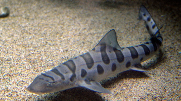 Hundreds Of Leopard Sharks Mysteriously Die In San Francisco Bay