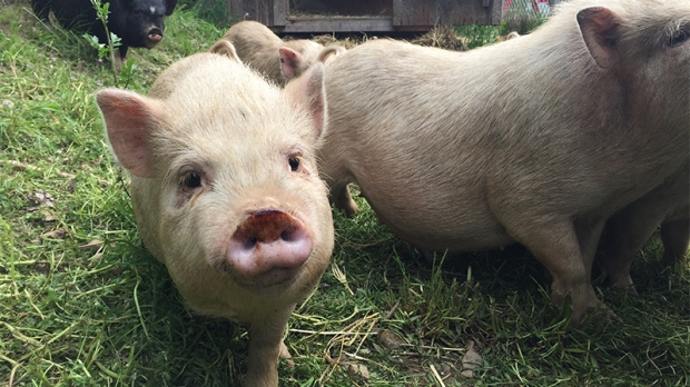 Some of the pigs seized during a cruelty investigation on Vancouver Island last May are seen in a CTV News file image.