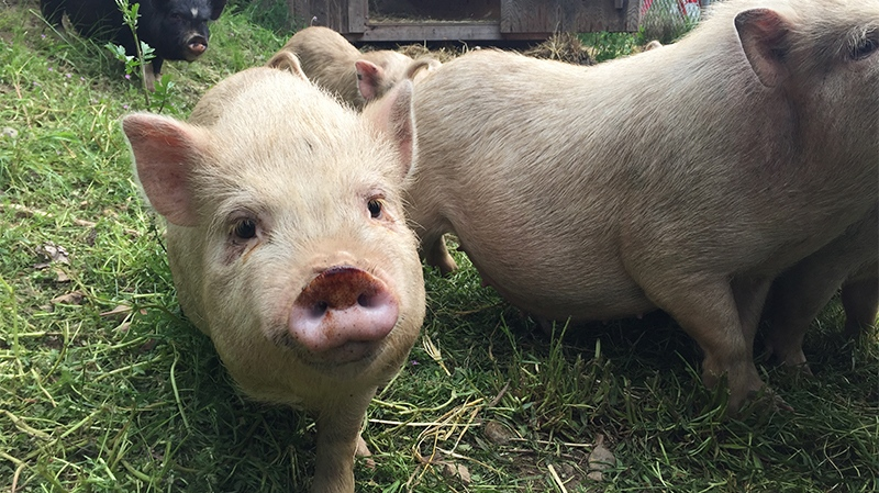 With a deadline for eviction approaching, a Ladysmith-area man voluntarily surrendered 23 pot-bellied pigs to the Cowichan branch of the BC SPCA Monday night. May 9, 2017. (CTV Vancouver Island)