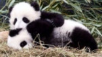 Five-month-old panda cubs Jia Panpan and Jia Yueyue play in an enclosure at the Toronto Zoo, as they are exhibited to the media in a March 7, 2016, file photo. THE CANADIAN PRESS/Chris Young, File