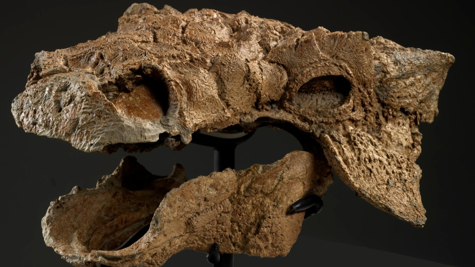 "The skull of the new dinosaur species has been compared to the villain Zuul in ""Ghostbusters."" (Brian Boyle / The Royal Ontario Museum)"
