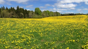 Mike Brennan came across this lovely field of dandelions last May in the Quispamsis area.