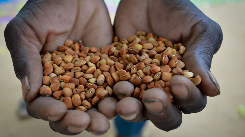 Introducing new seeds in countries like Niger has helped farmers grow sustainable crops. (Photo: UNDP Niger)