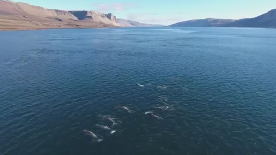The researchers used an unmanned aerial drone to capture footage of the Narwhals in Nunavut. (WWF Canada)