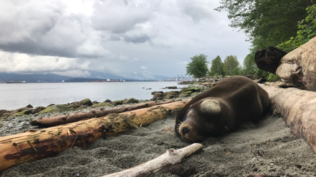 Sea Lion Shot Multiple Times in the Face Rescued From Vancouver Beach