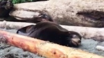 Sea lion shot in the face recovering
