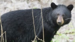 CTV News Channel: Toronto Police shoot bear