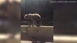 Caught on Cam: Balanced bear along B.C. highway