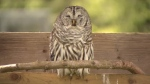 Owls find sanctuary at Langley breeding centre